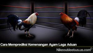 Cara Memprediksi Kemenangan Ayam Laga Aduan