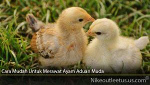 Cara Mudah Untuk Merawat Ayam Aduan Muda