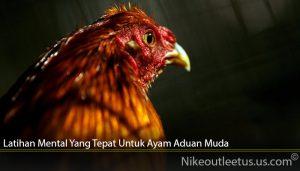 Latihan Mental Yang Tepat Untuk Ayam Aduan Muda